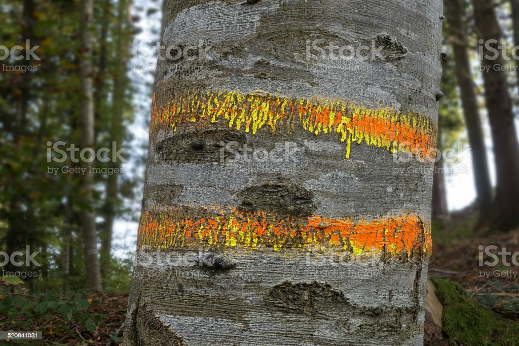Marked beech trunk royalty-free stock photo