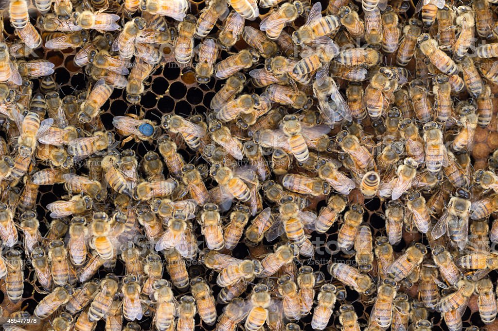 Marked queen bee laying eggs stock photo