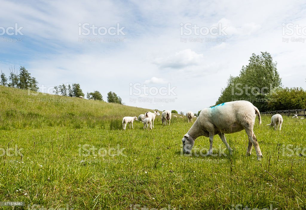 Marked sheep grazing in fresh grass stock photo