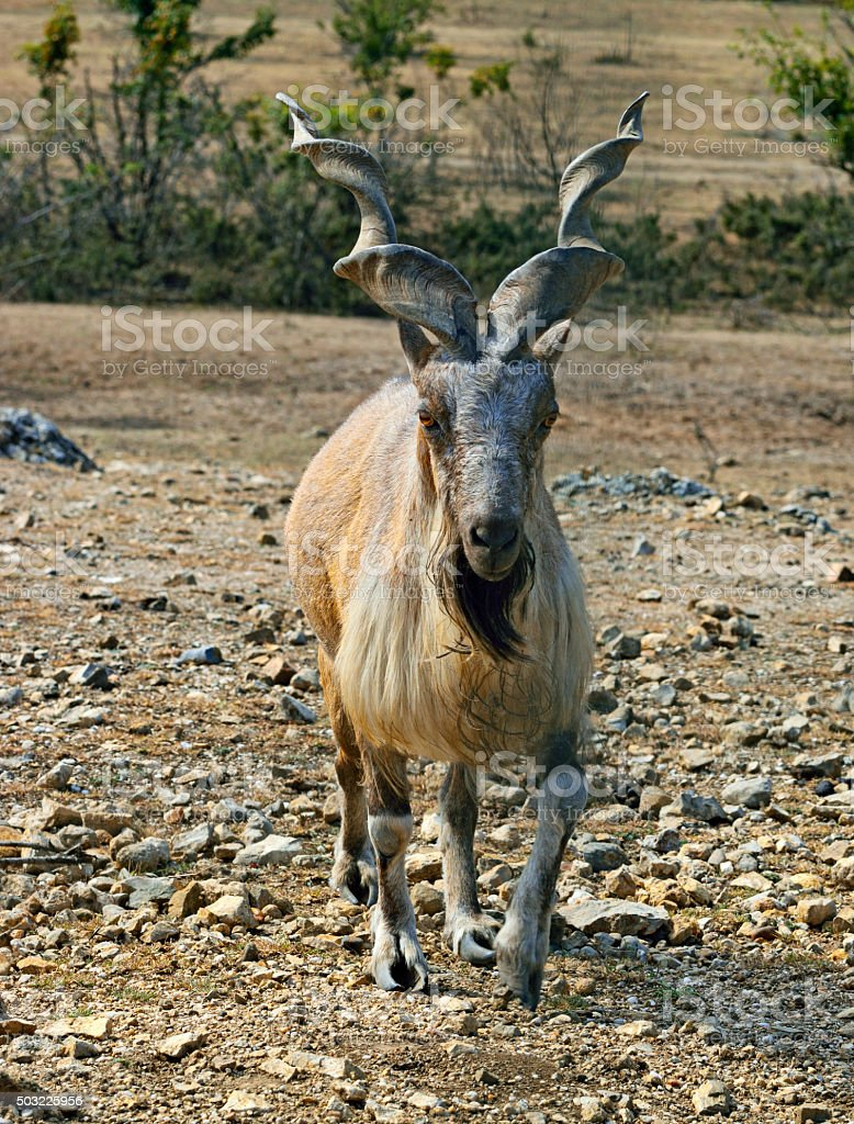 Markhor in the reserve. stock photo