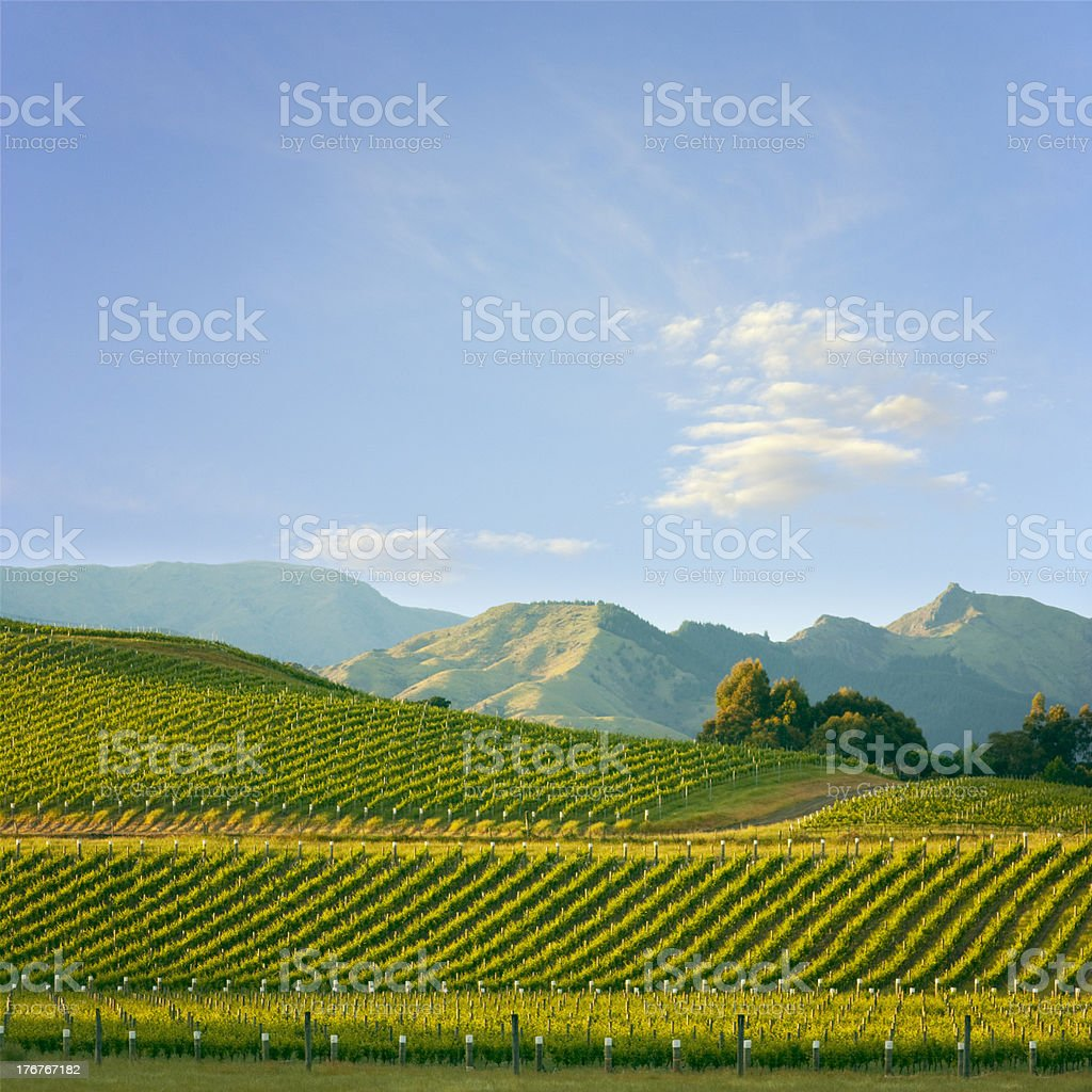 Marlborough Vineyard New Zealand Square royalty-free stock photo