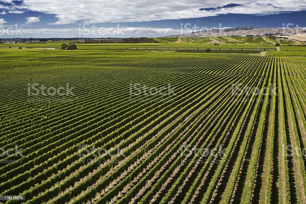 Marlborough Vineyard stock photo