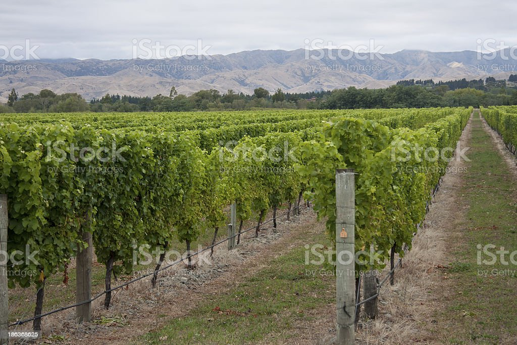 Marlborough Vineyards stock photo