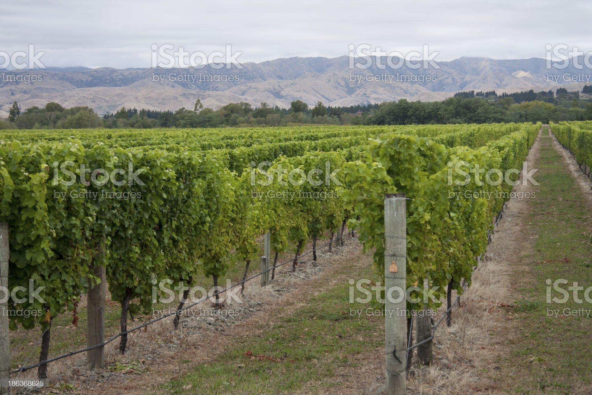 Marlborough Vineyards royalty-free stock photo