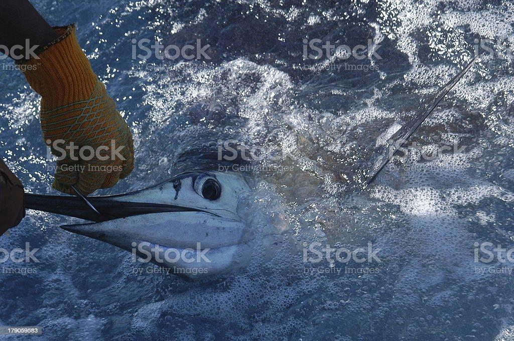 Marlin 1 royalty-free stock photo