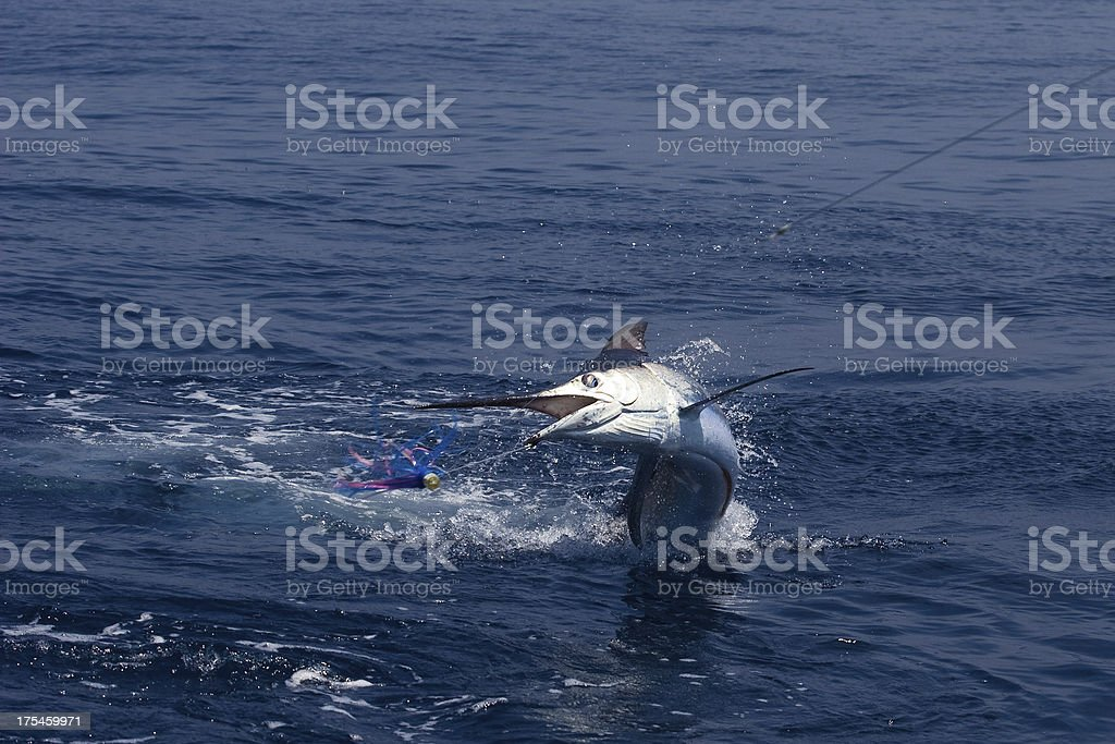 A Marlin leaping out of the ocean stock photo