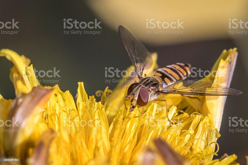 Mermelada sirfido Episyrphus balteatus foto de stock libre de derechos