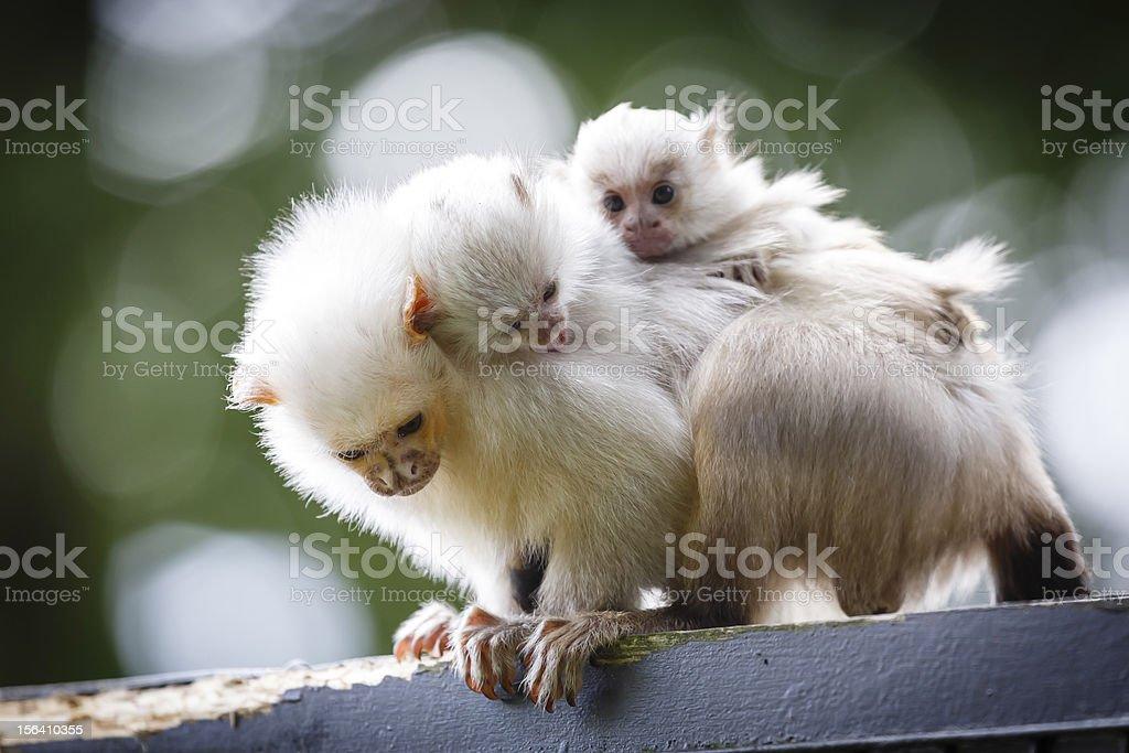 Marmoset family stock photo