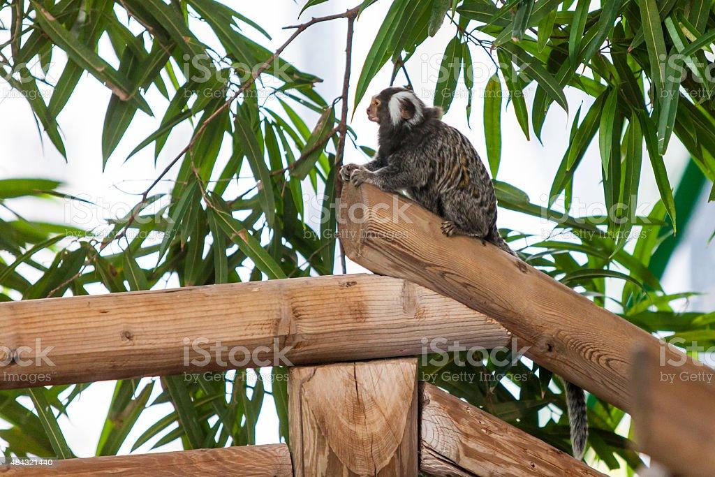 Marmoset monkey stock photo