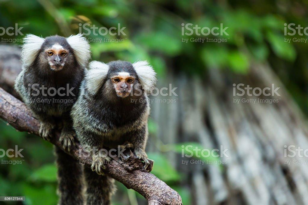 marmoset monkey. stock photo