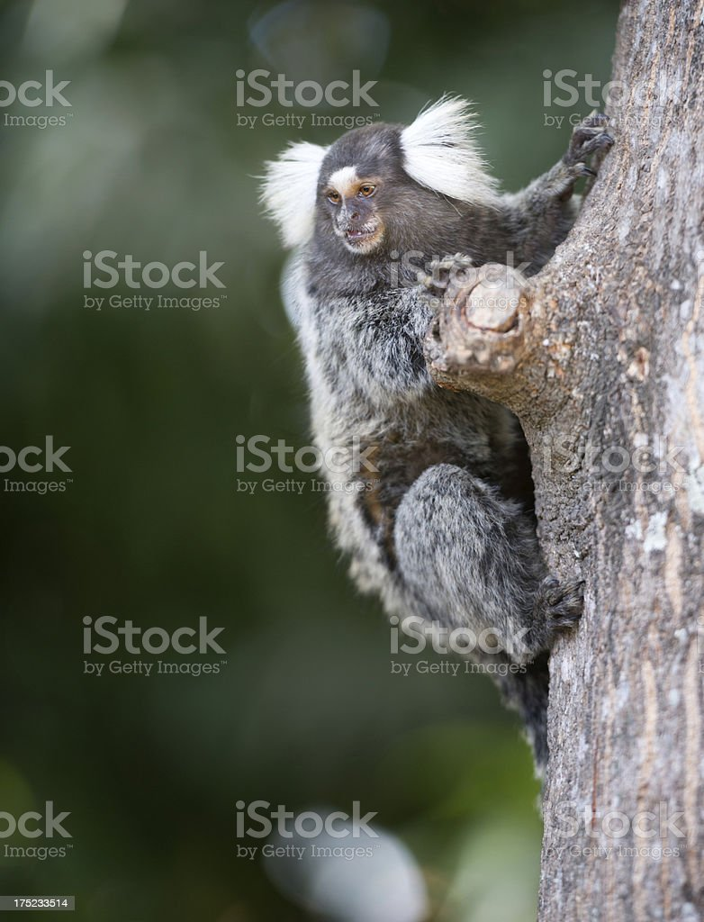 Marmoset (Callithrix) royalty-free stock photo