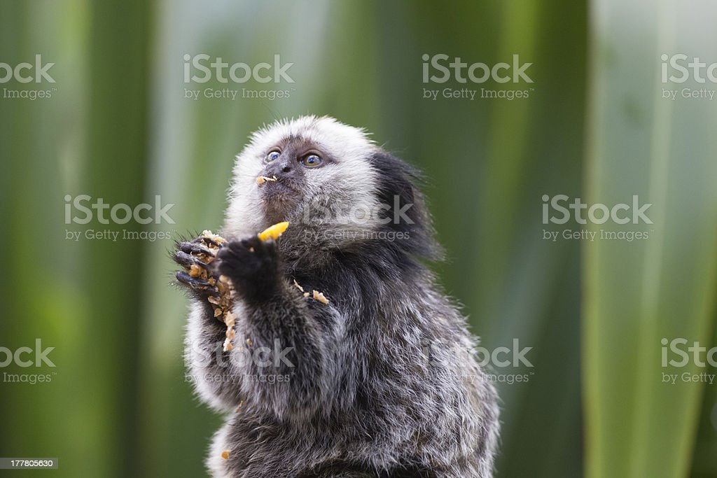 Marmoset stuffing his face stock photo