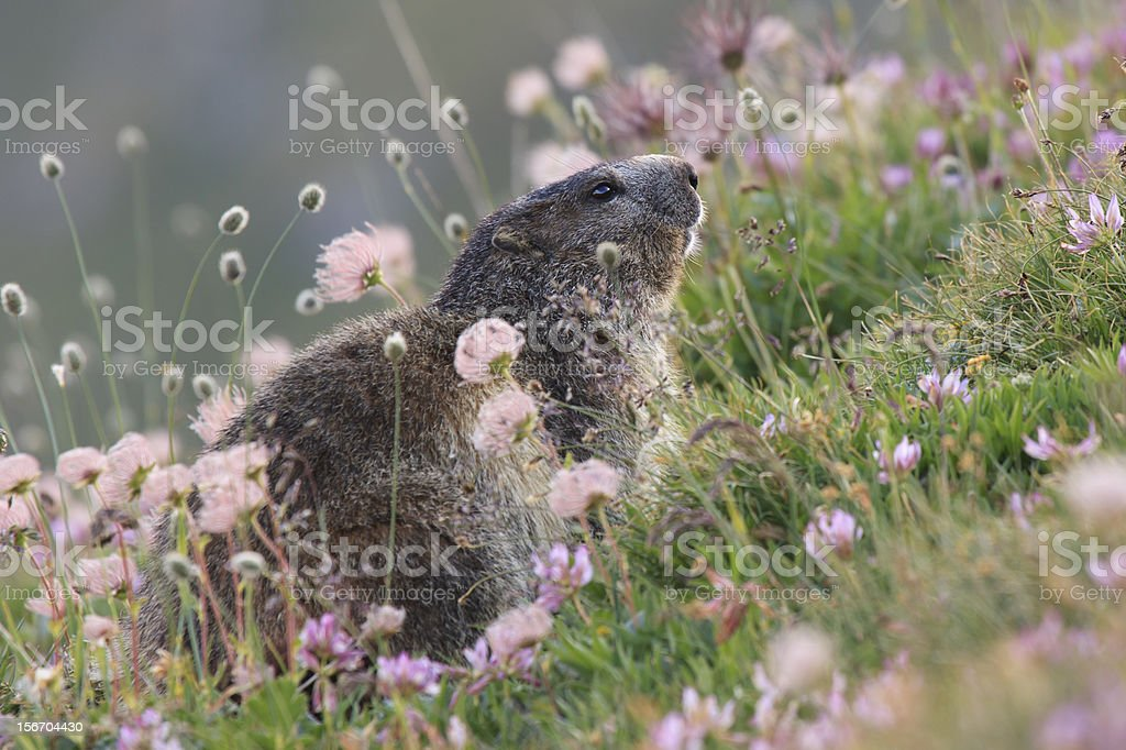 Marmot and flowers,Groundhog royalty-free stock photo