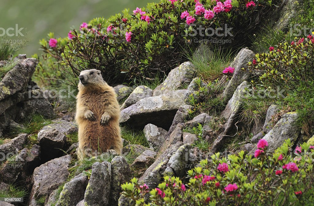 Marmot between flowers stock photo