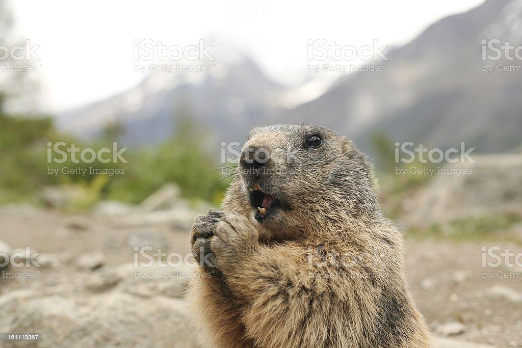 Marmot Eating stock photo