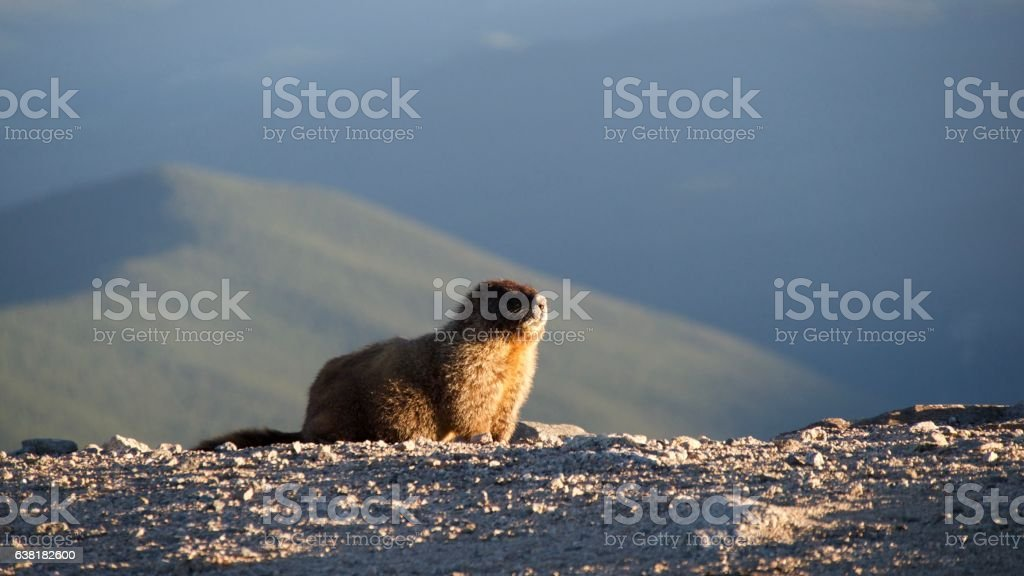 Marmot getting the last couple rays of sunlight. stock photo