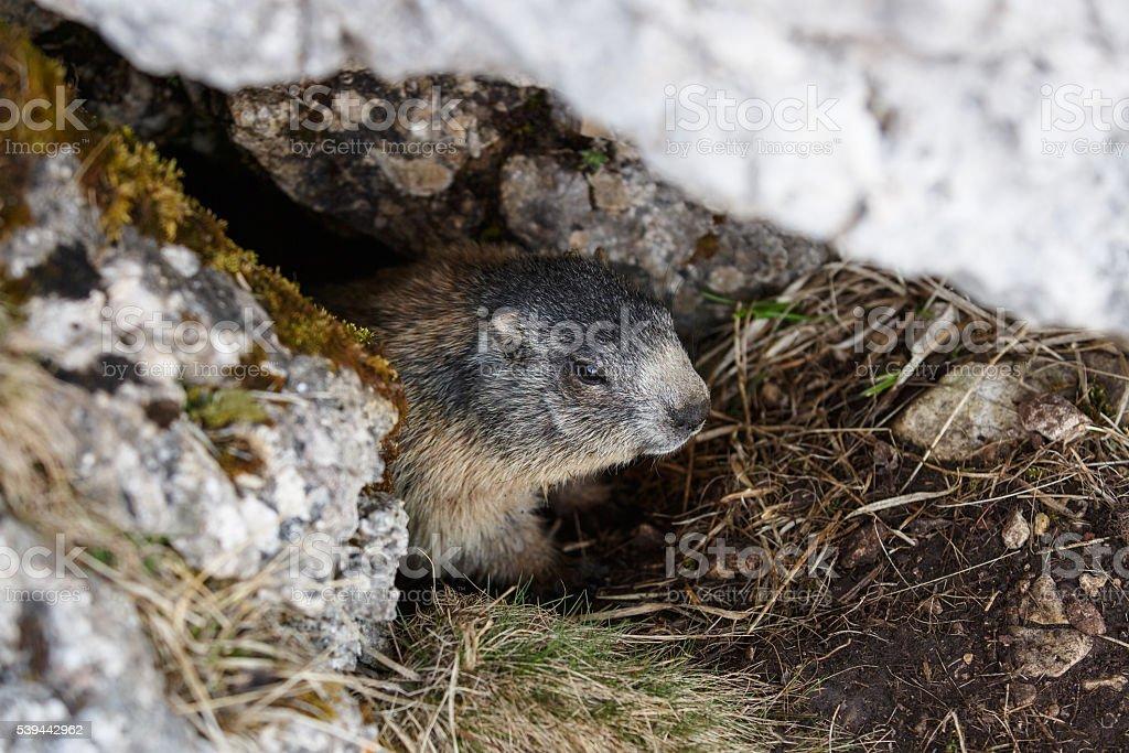 Marmot, hiding in his den under a rock stock photo