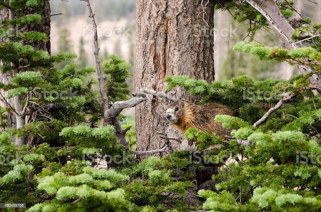 Marmot in Cedar Breaks National Monument stock photo