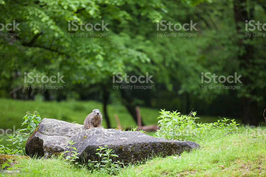 Marmot in forest stock photo