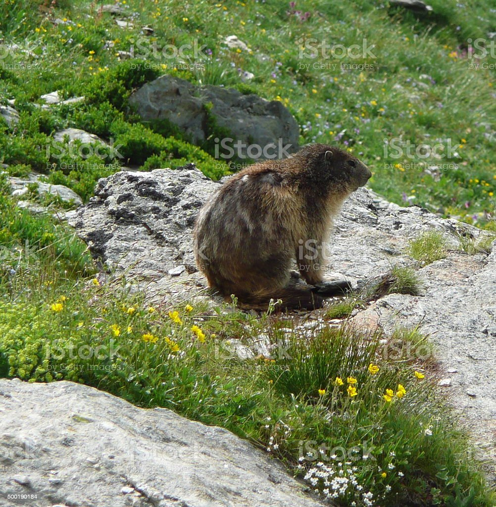 Marmot in French Savoy stock photo