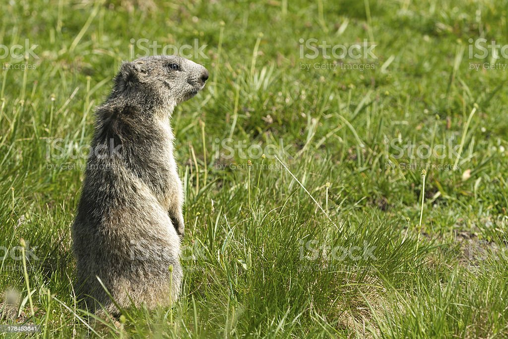 marmot in the alps stock photo
