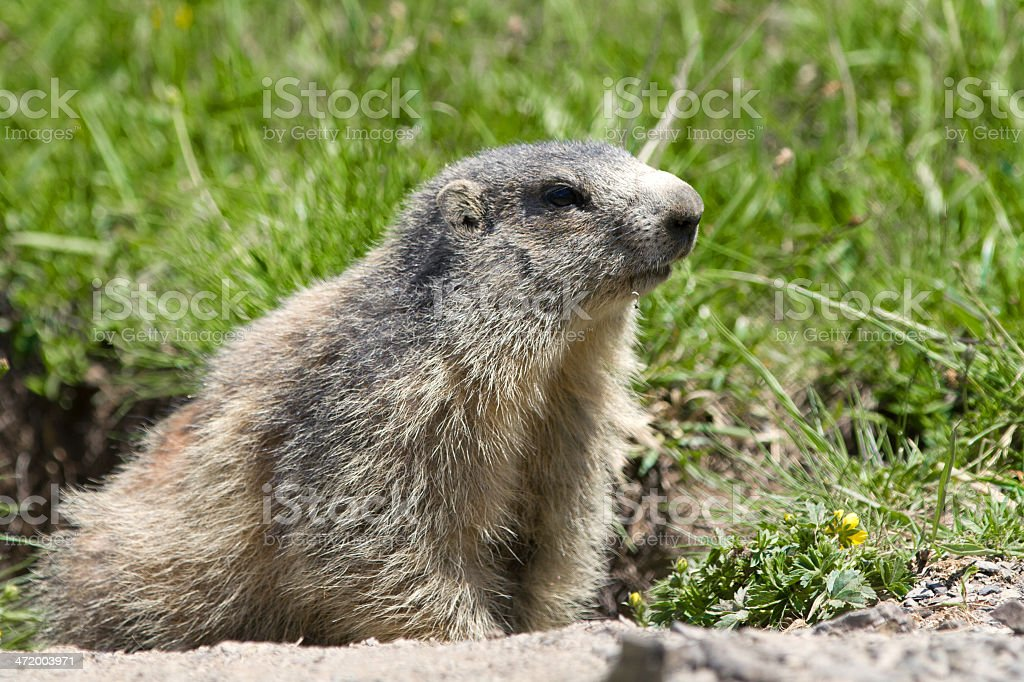 marmot in the french alps stock photo