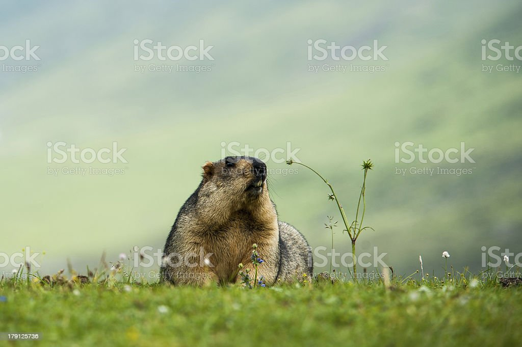 marmot in the grassland royalty-free stock photo