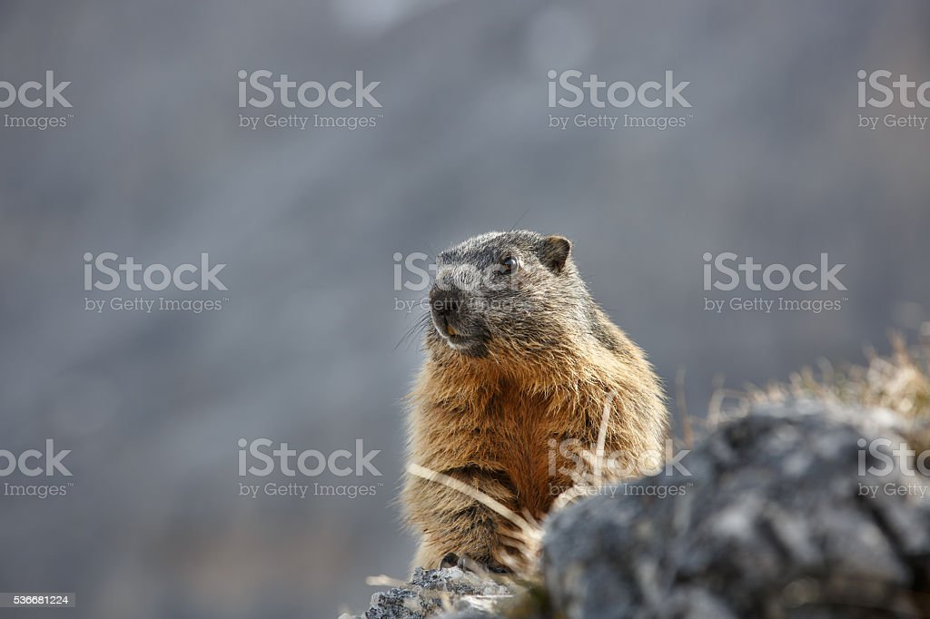 Marmot on a lookout stock photo