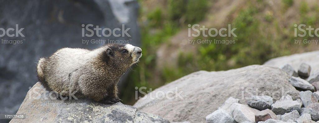 Marmot on alert stock photo