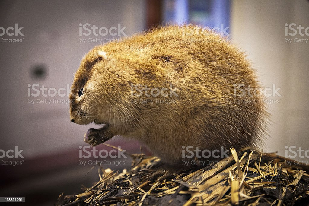 Marmot Sample stock photo