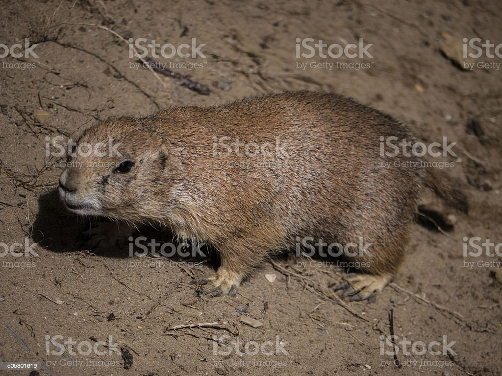 Marmot standing on the ground royalty-free stock photo