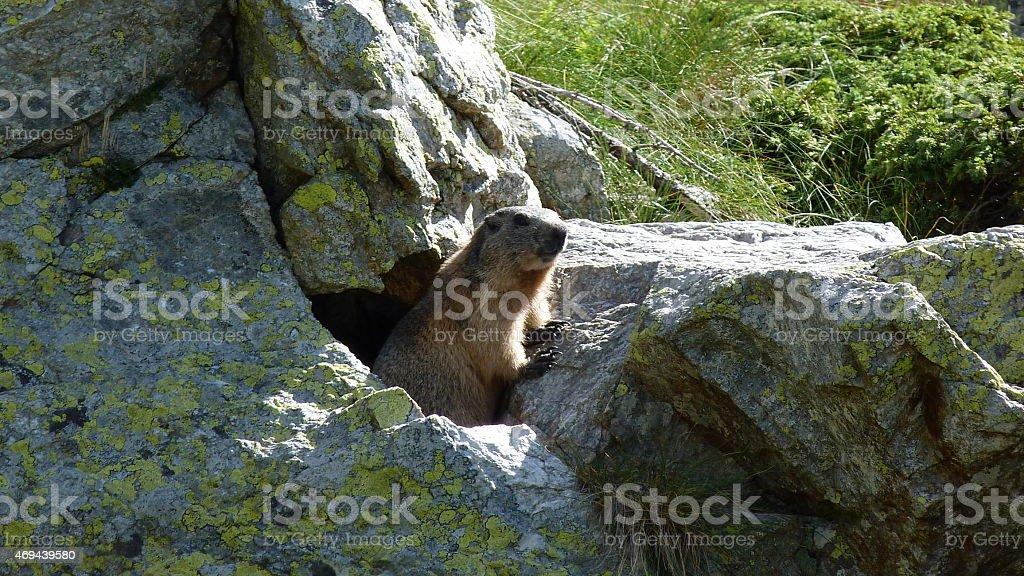 marmotta stock photo
