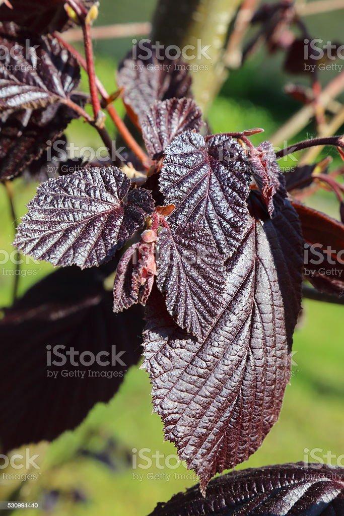 Maroon leaf of hazel stock photo
