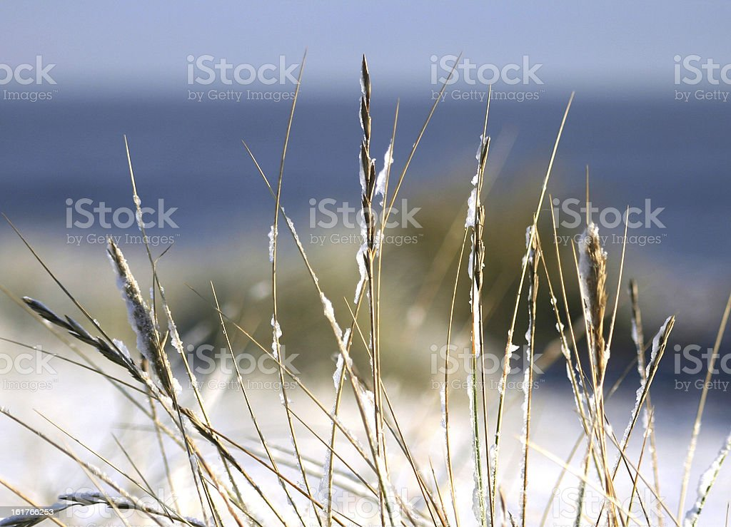 Marram grass in the snow on Sizewell beach, Suffolk stock photo