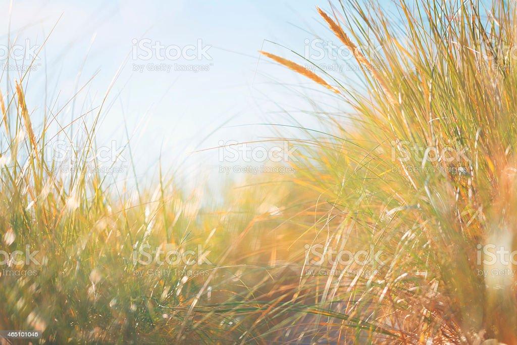 Marram grass stock photo