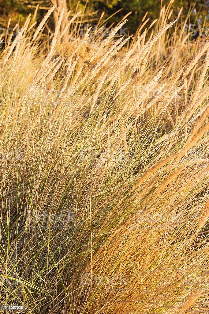 Marram on coastal dune stock photo