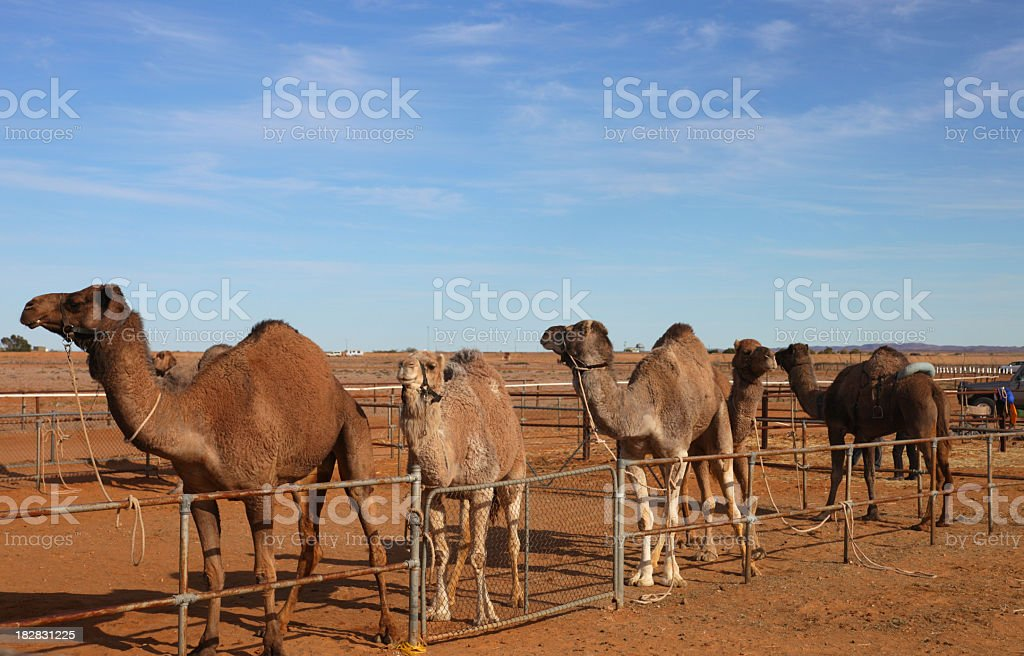 Marree camel cup stock photo