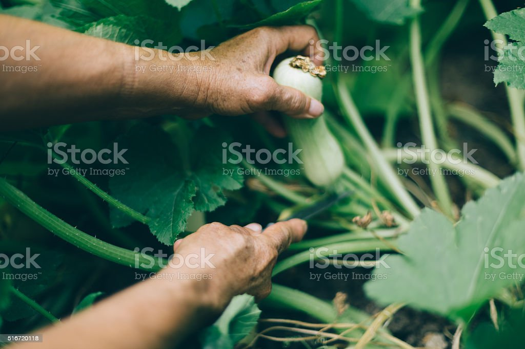 Marrow squash stock photo