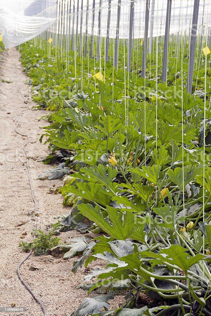 Marrows plants greenhouse royalty-free stock photo