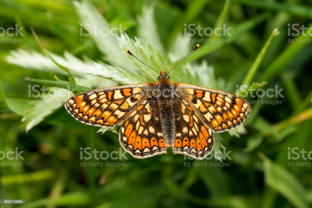 Marsh Fritillary butterfly, Euphydryas aurinia stock photo
