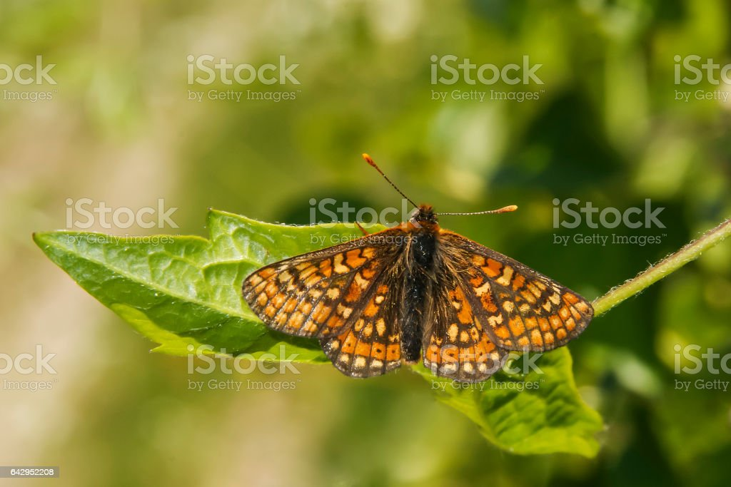 Marsh Fritillary butterfly, Euphydryas aurinia, resting on a leaf stock photo