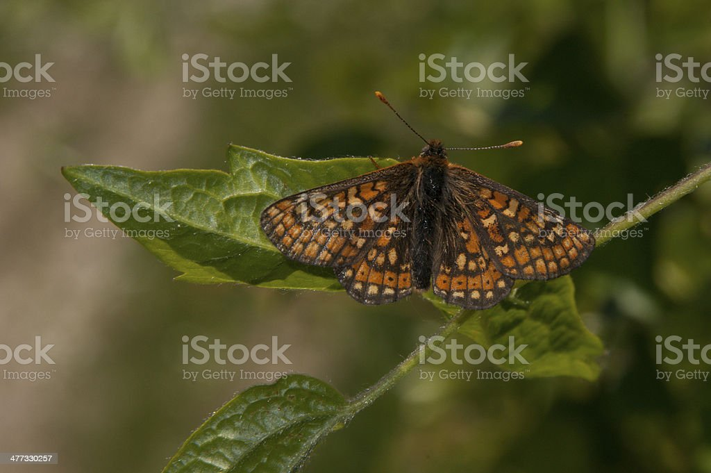Marsh Fritillary butterfly on a leaf royalty-free stock photo