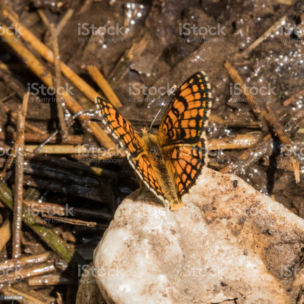 Marsh Fritillary Butterfly stock photo