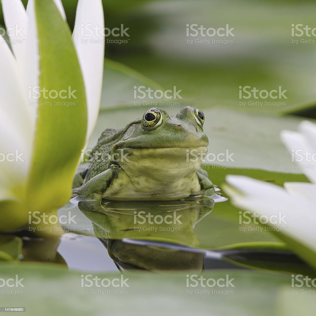 Marsh frog sits on a green leaf stock photo