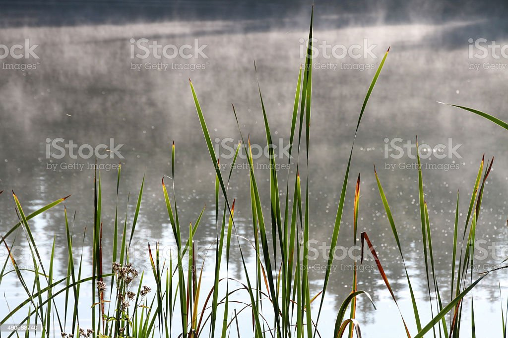 marsh grass in misty lake waters stock photo