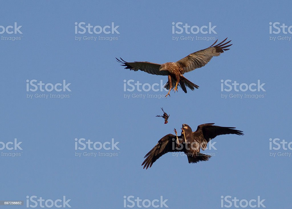 Marsh Harrier feeding young stock photo