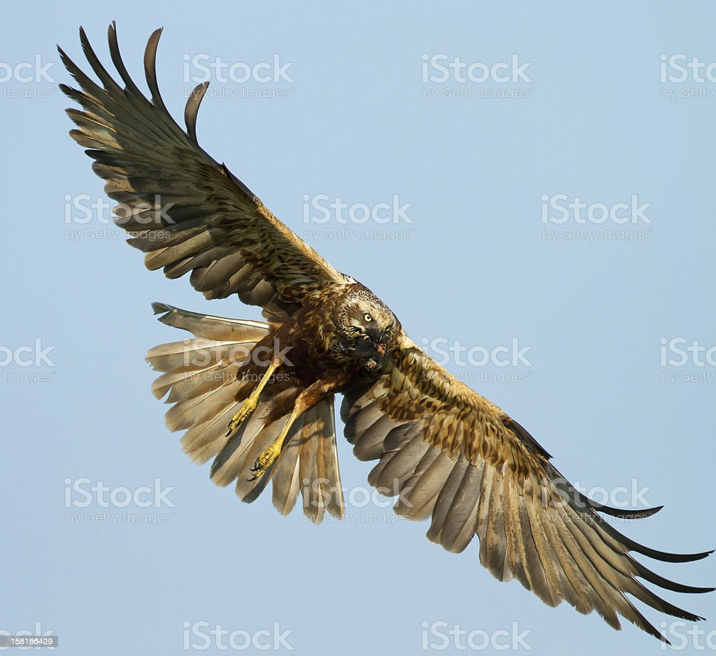 Marsh Harrier flying with wide wingspan in blue sky stock photo