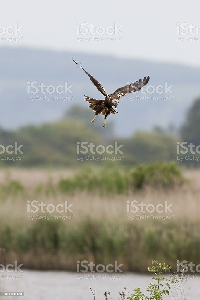Marsh Harrier (Circus aeruginosus) royalty-free stock photo