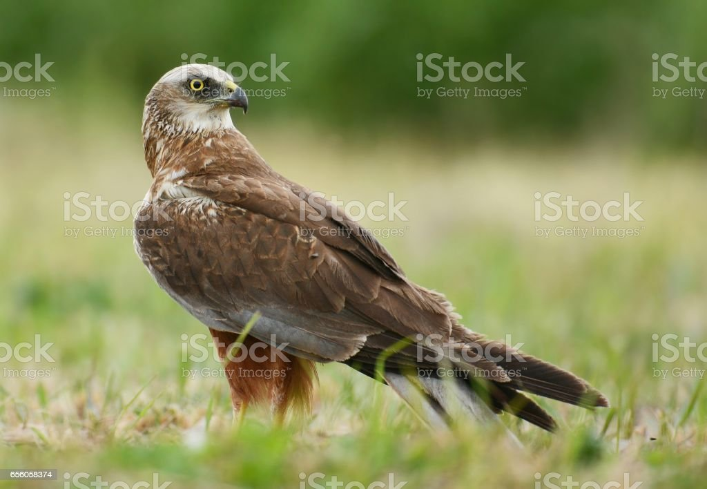 Marsh harrier stock photo