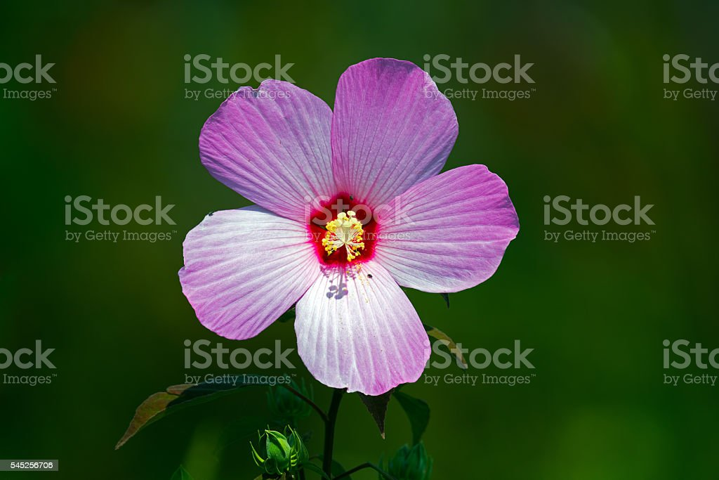 Marsh Mallow stock photo